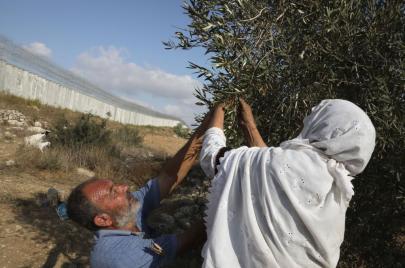 الزراعة تحدد موعد بدء موسم قطف الزيتون