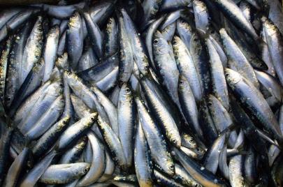 سردين غزة غذاء لفقرائها.. ماذا عن الصيد الجائر؟